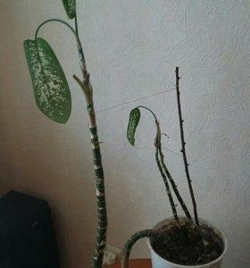 Комнатный цветок Диффенбахия