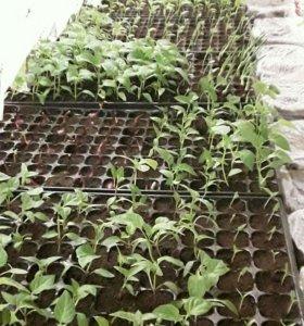 Рассада перца, томата, баклажан и цветы