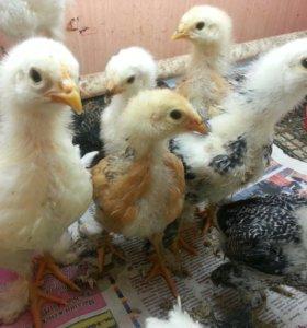 Продам цыплят деревенские, брама