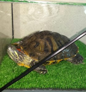 Красноухая черепаха +аквариум/ или аквариум