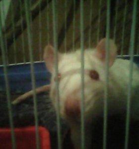 Ручная крыса.