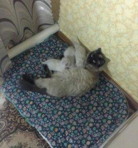 Котята, священная бирма