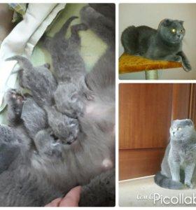 """Котята """"СКОТИШФОЛД """"(шотландская вислоухая)"""