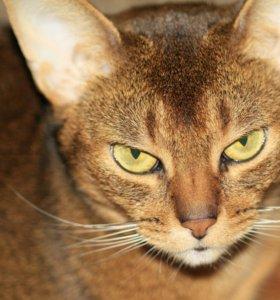 Кошка Абиссинка в добрые руки