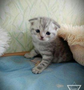 Шотландские плюшевые котики