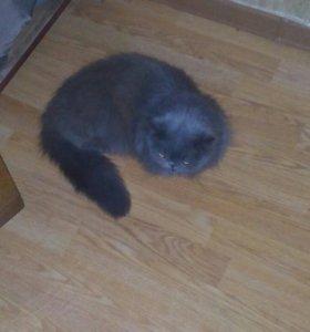 Продаётся сиамская кошка