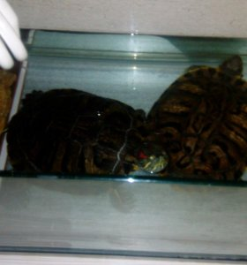 Черепахи взрослые