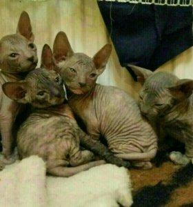 Продам котят донского сфинкса