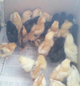 Продаю цыплят,