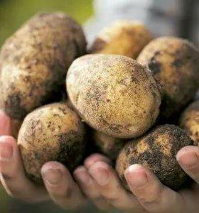 Продам картофель 600р. куль