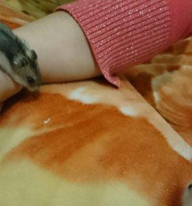 Джунгаринские хомячки