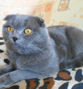 Шотландский вислоухий котик (скотиш фолд
