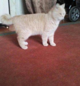 Шотландский кот пуся