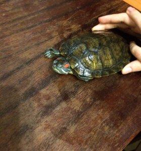 Водная Красноухая черепаха