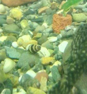 Улитка хелена (anentome helena)раковина 2см