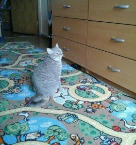 Отдам кошку британку в добрый руки