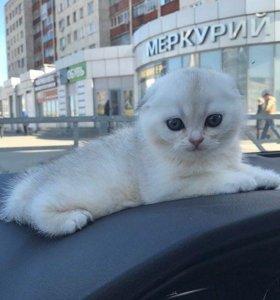 Выставочные котята