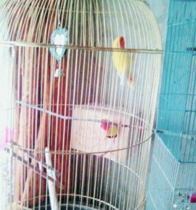 Попугаи Неразлучники в большой клетки + Амадин