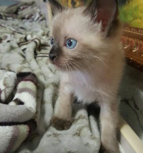 Сиамский(тайский) котенок мальчик