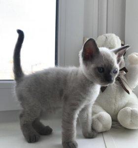 Сиамский котёнок