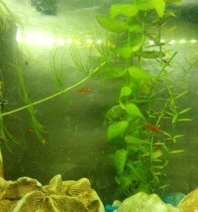 Рыбки меченосцы 1 месяц