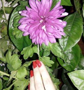 Хризантема, укорененный отросток
