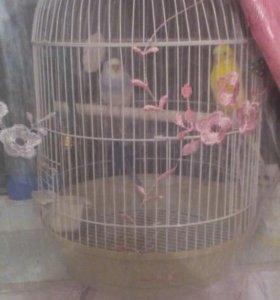 Попугайчики готовые к размножению