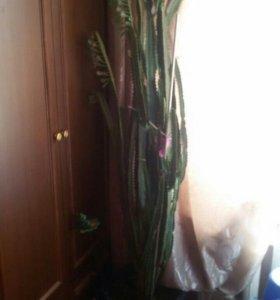 Домашнее растение-кактус