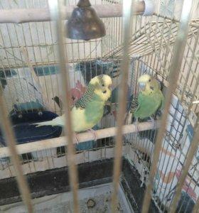 Попугайчики- девочка и мальчик+ клетка
