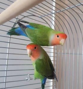 Попугаи неразлучники, клетка