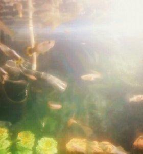 Продам рыбок Гуппи