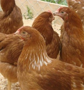 Цыплята, куры,гуси.