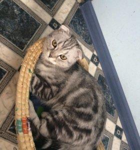 Продам шотландского веслоухого кота