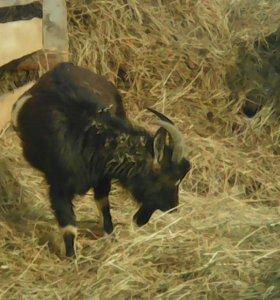 Продам козла или обмен на других животных