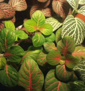 Растение Фиттония, не черенки