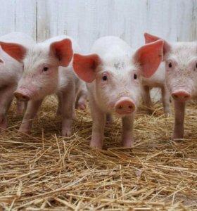 Продаю свинку