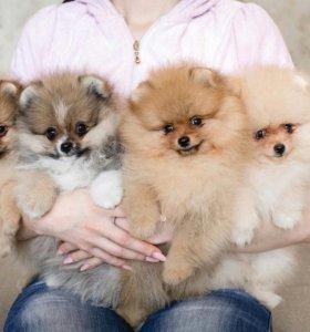 Предлагаются к продаже щенки шпица