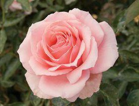 "Роза чайно гибридная ""Фламинго"""