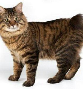 Ищу кота бобтейла для Вязки