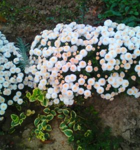 Лен садовый и другие многолетние цветы