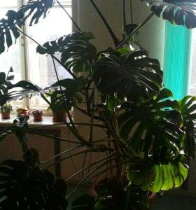 Монстера. Шикарное комнатное растение