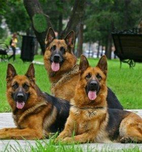 Дрессировка собак + выгул собак