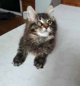Продам котят мейн-кун недорого