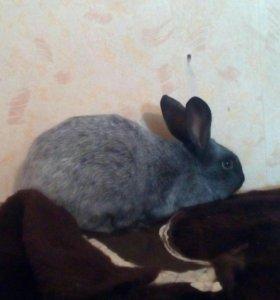 Кролики шиншилы