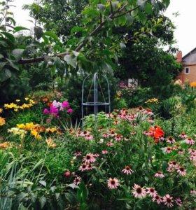 Эхинацея и другие многолетние цветы