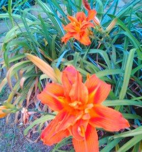 Лилейники и другие многолетние цветы для сада