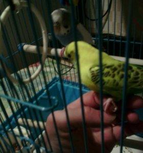 Срочно отдам попугая