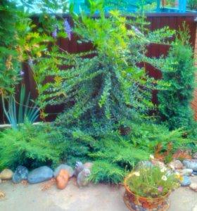 Пираканта вечнозеленая и другие цветы и кустарники