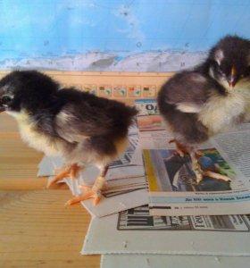 Цыплята маран черно медный инкубационное яйцо