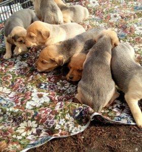 Продам щенят русской гончай